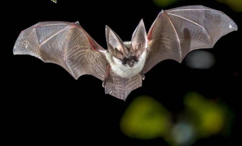 Municípios do RS recebem alerta sobre aumento de focos de raiva herbívora em Morcegos