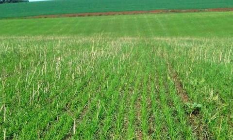 Dias com melhor luminosidade ajudam no desenvolvimento do trigo na região